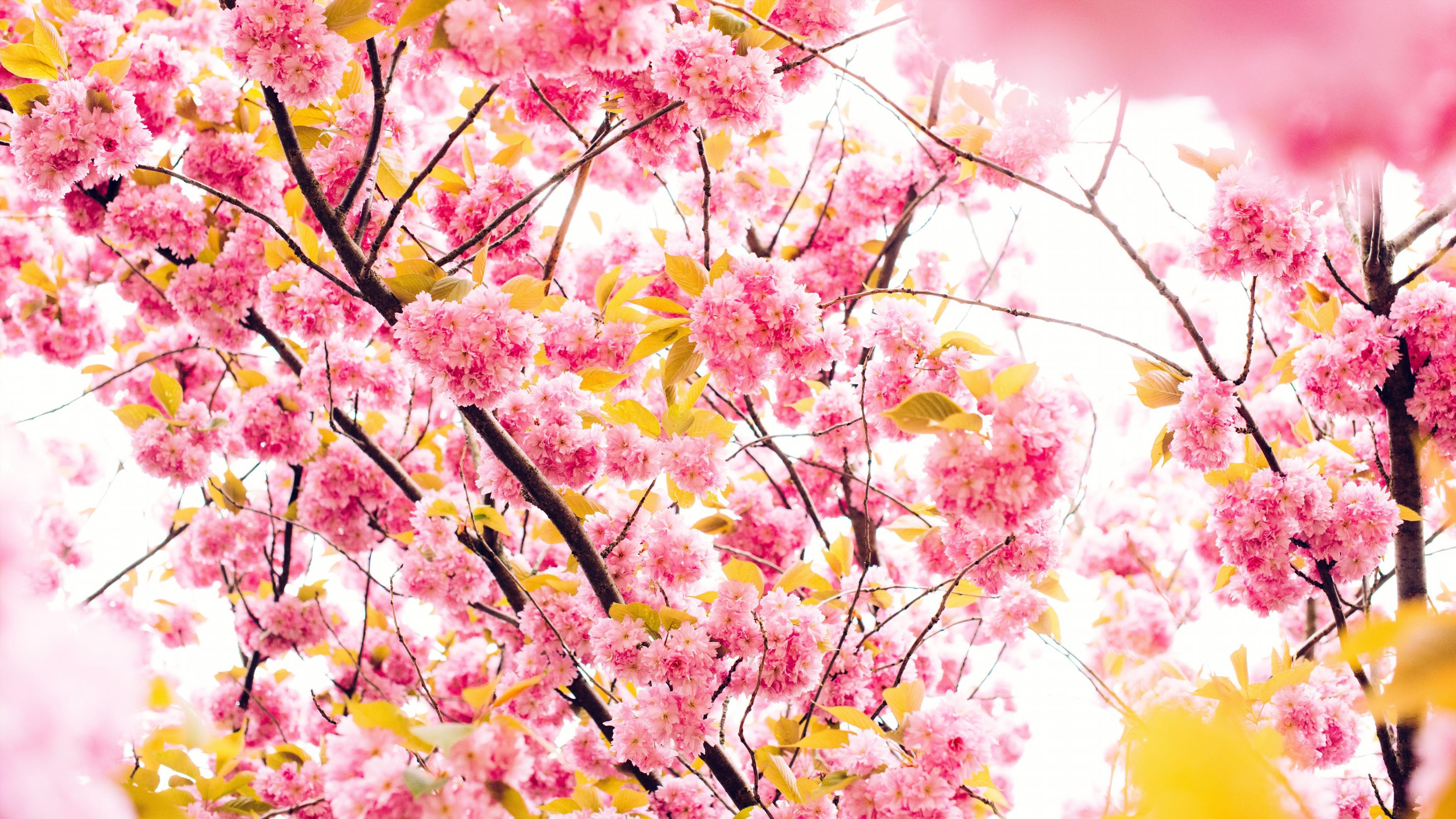 Цветы вишни 5к. обои скачать