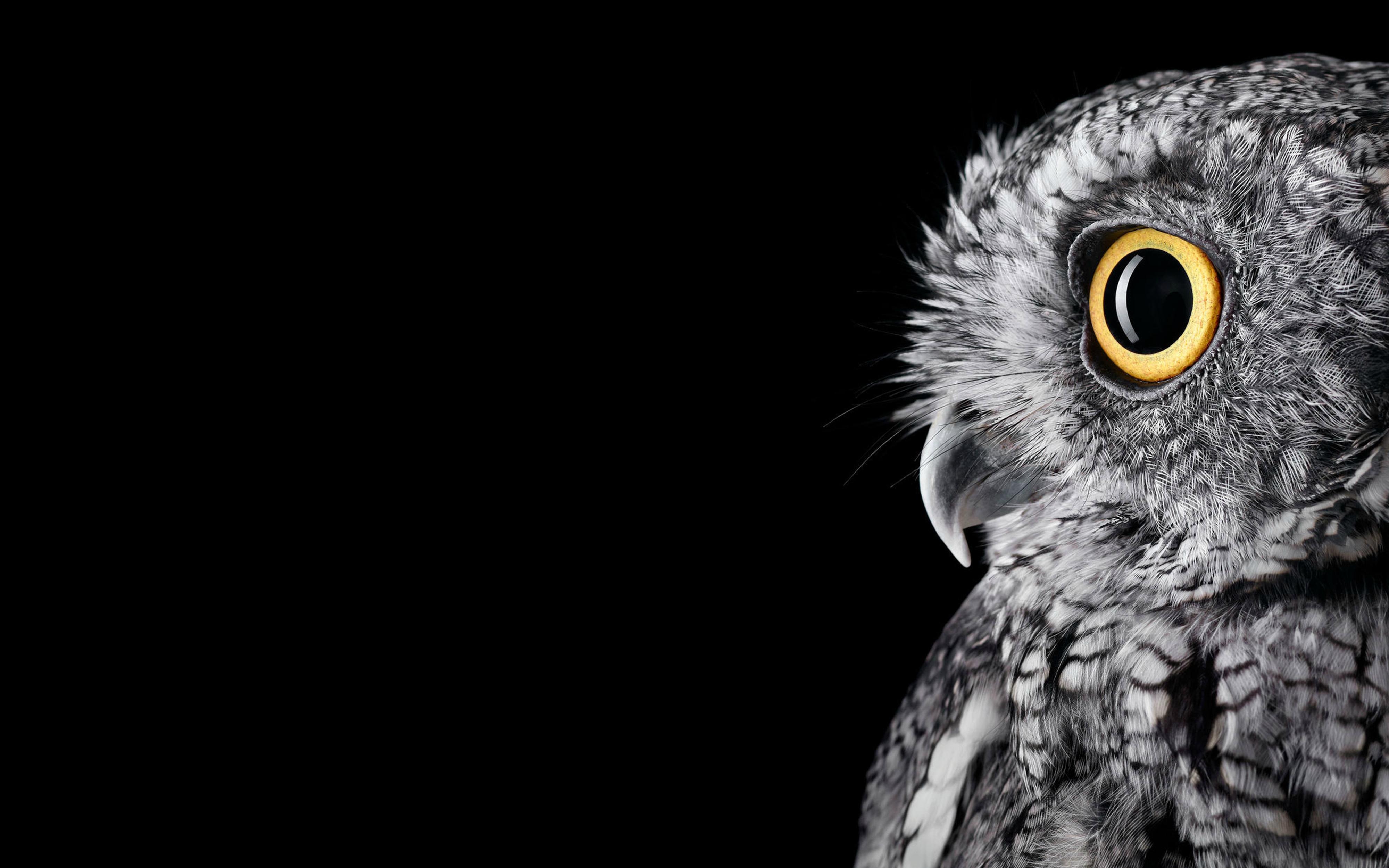 Owl 5k. обои скачать