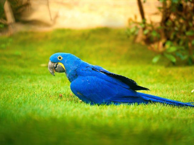 Ара Синяя птица на зеленой траве в размытом фоне животные