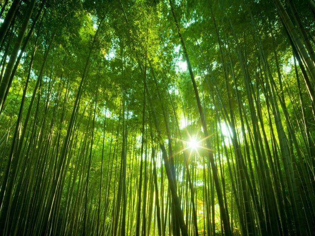 Японский бамбук.