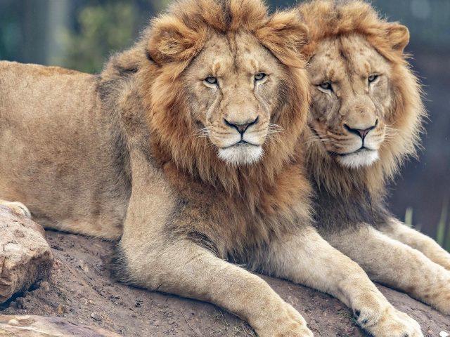 Два больших Льва лежат на скале в размытом фоне животных