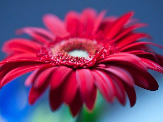 Красный Гербера цветок ромашки