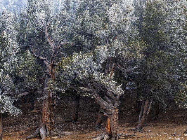 Заснеженные зеленые деревья в лесной природе