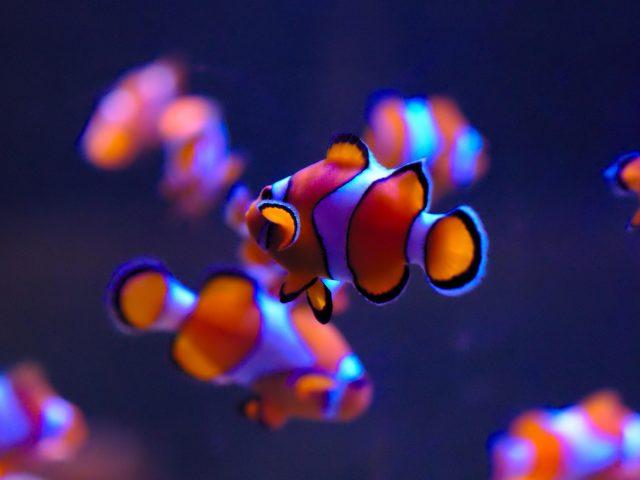 Клоун в аквариуме