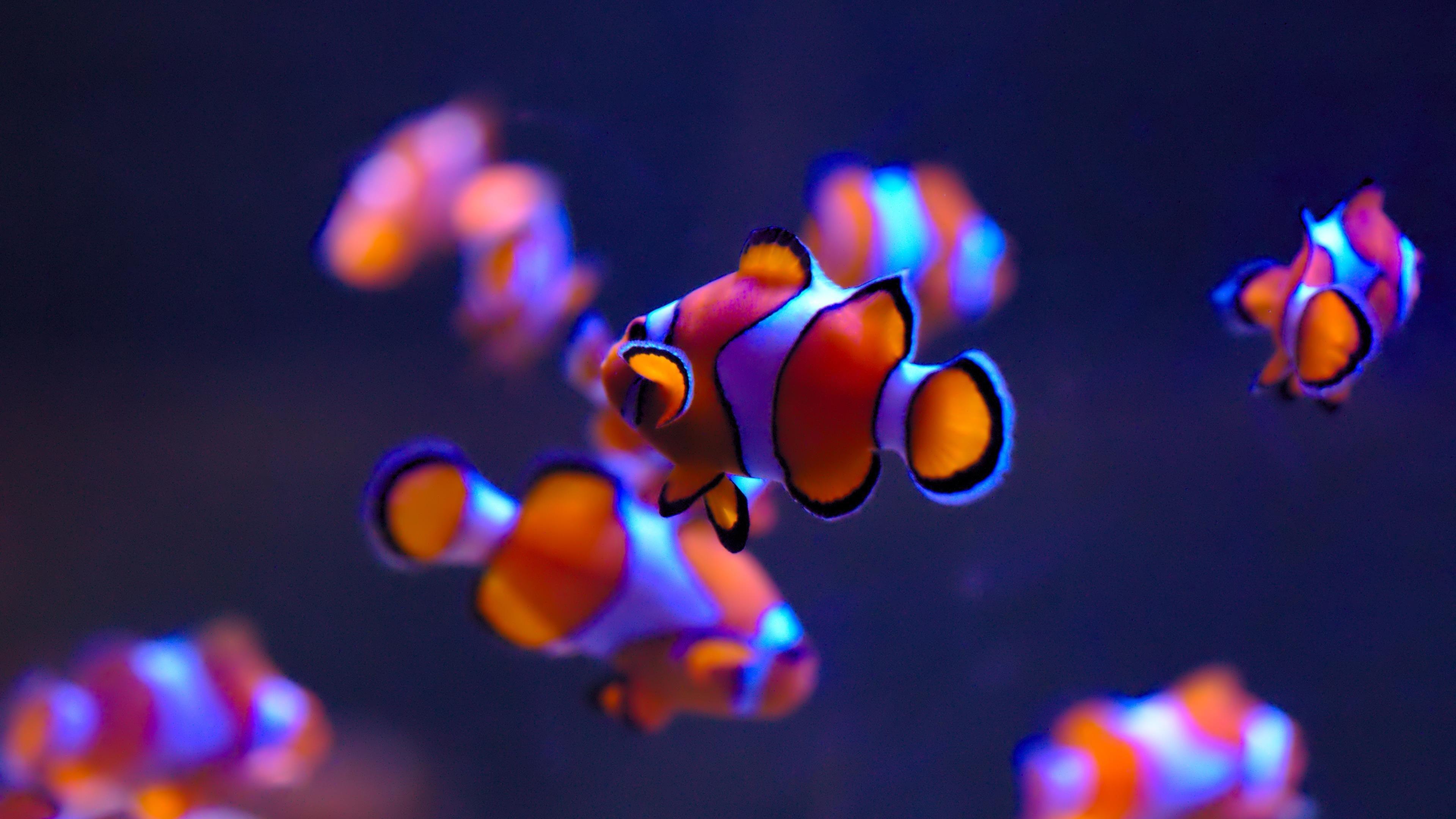 Клоун в аквариуме обои скачать