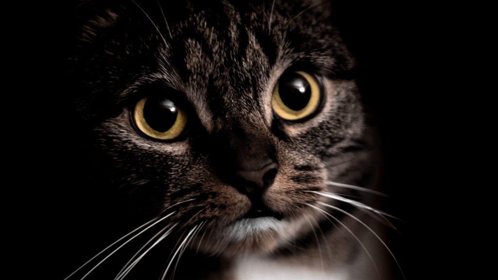 Желтые глаза черная кошка на черном фоне кошка обои скачать