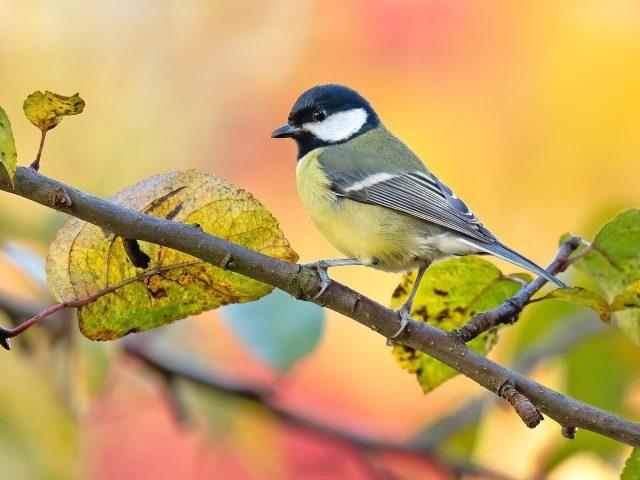 Черно-желтая синица на ветке дерева на сине-желтом красном фоне птицы