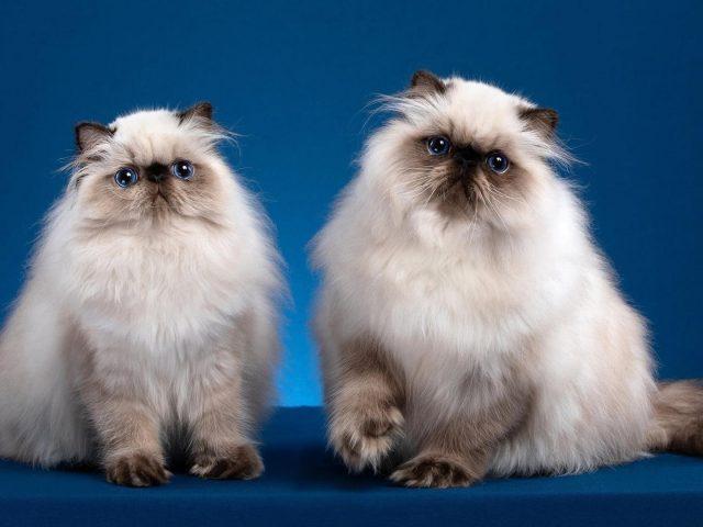 Две милые кошки сидят на столе с синими фоновыми животными