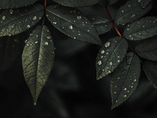 Листья растений капли воды темный фон природа