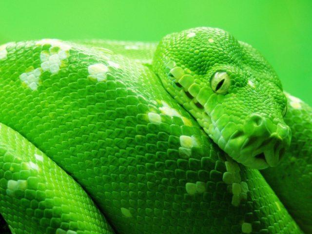 Лук дерево зеленая змея