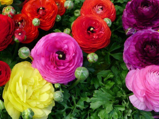 Красные розовые фиолетовые желтые цветы ранункулюса бутоны цветы