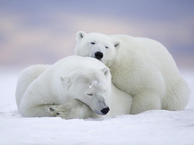 Белые медведи холодный снег