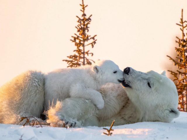 Белый медведь ребенок играет с большим медведем на снежном поле в дневное время животные