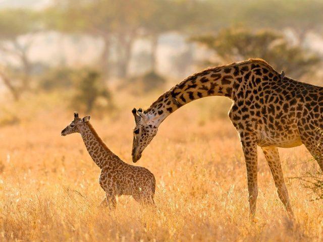 Животное жираф и детеныш в желтом поле с синим фоном животные