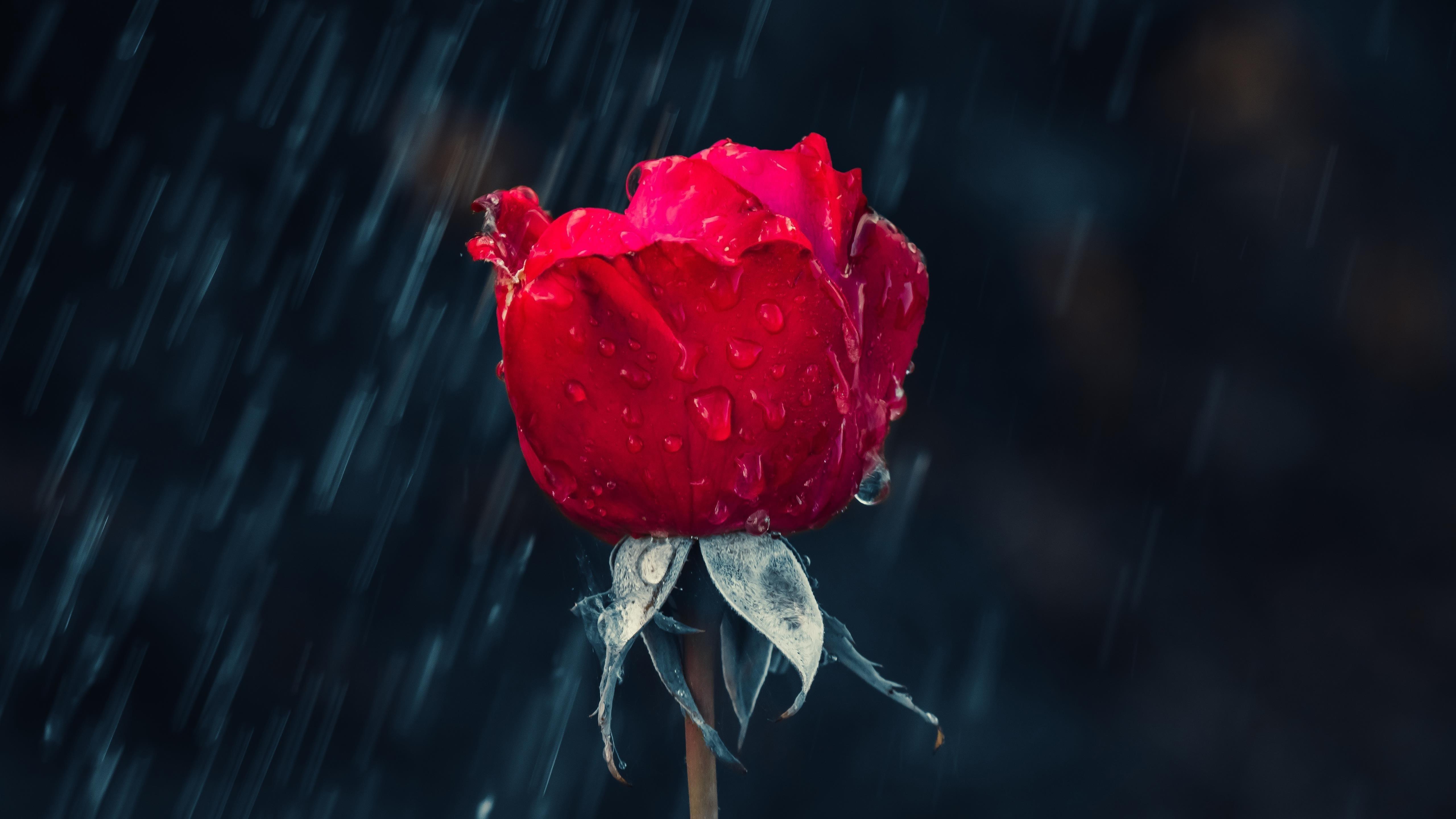 Роза обои скачать
