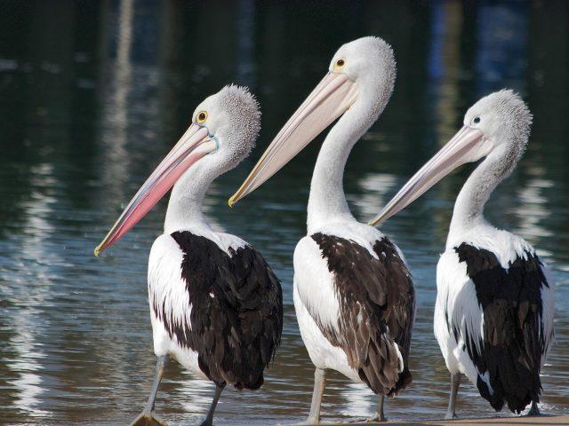 Три белых черных пеликана стоят возле водоема с животными