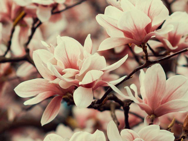 Цветы магнолии ветви растения цветущие весной