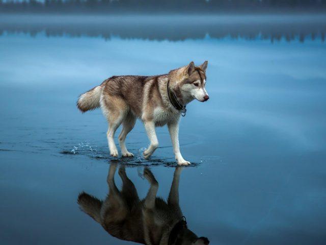 Взрослый бурый и белый аляскинский маламут бурый сибирский хаски на водоеме собака