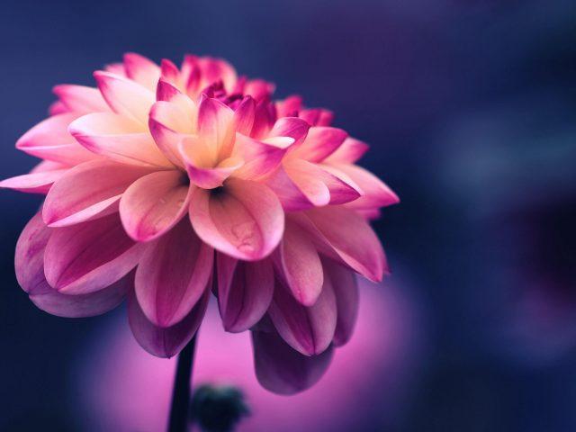 Цветок розовые лепестки бутон крупным планом