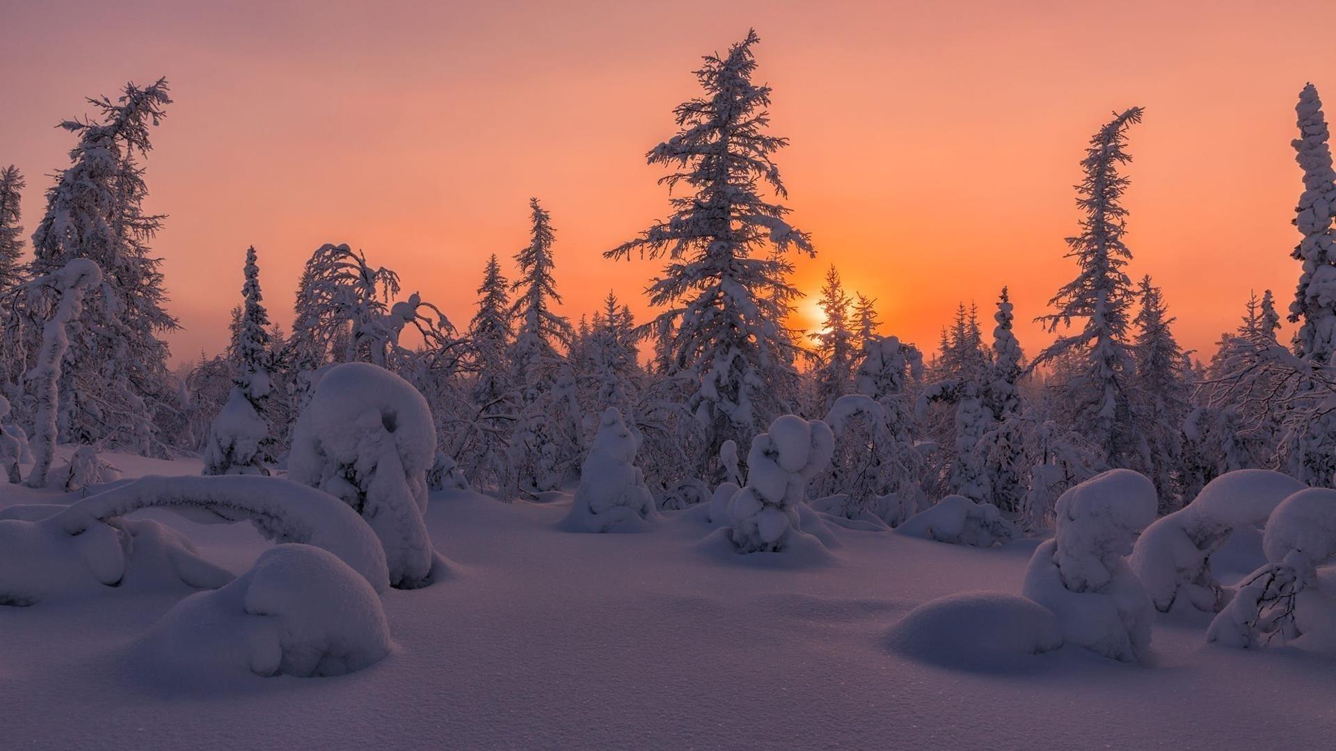 Заснеженный еловый лес во время заката природа зима обои скачать