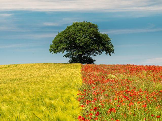 Двухцветное поле в одиночном дереве в дневное время