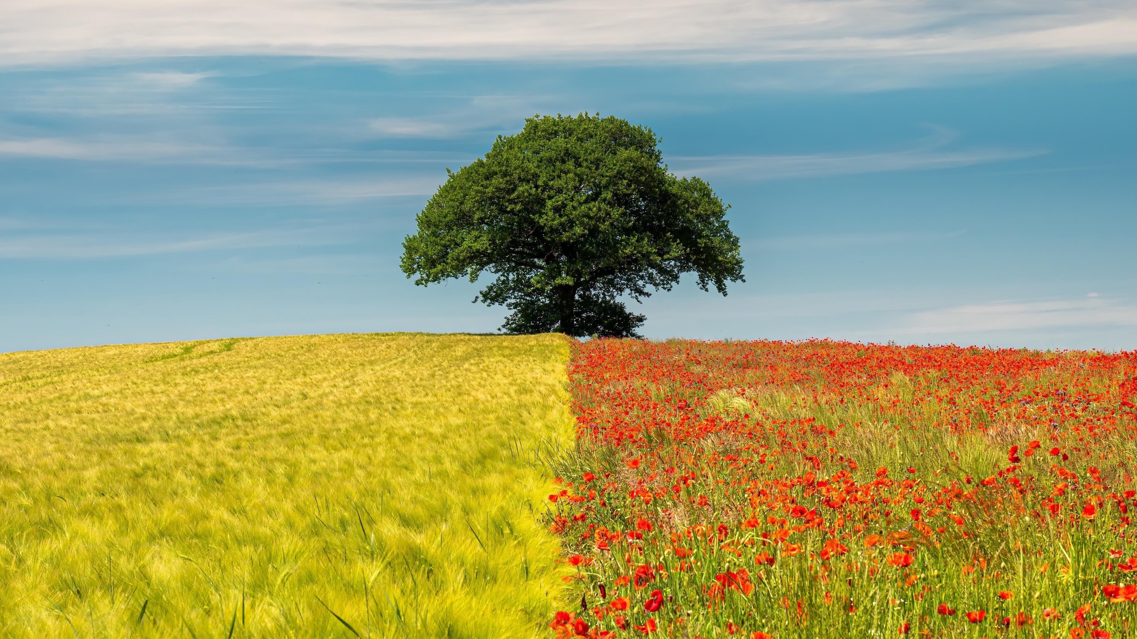 Двухцветное поле в одиночном дереве в дневное время обои скачать