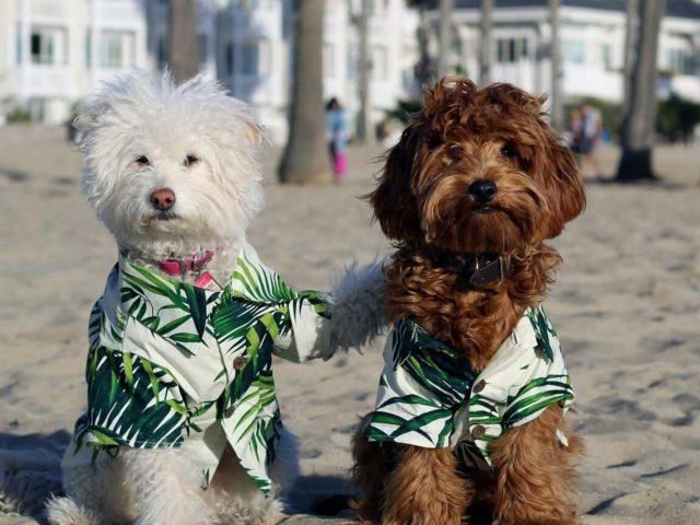 Бело-коричневые пуделиные собаки в платье, сидящие на песчаной собаке на пляже