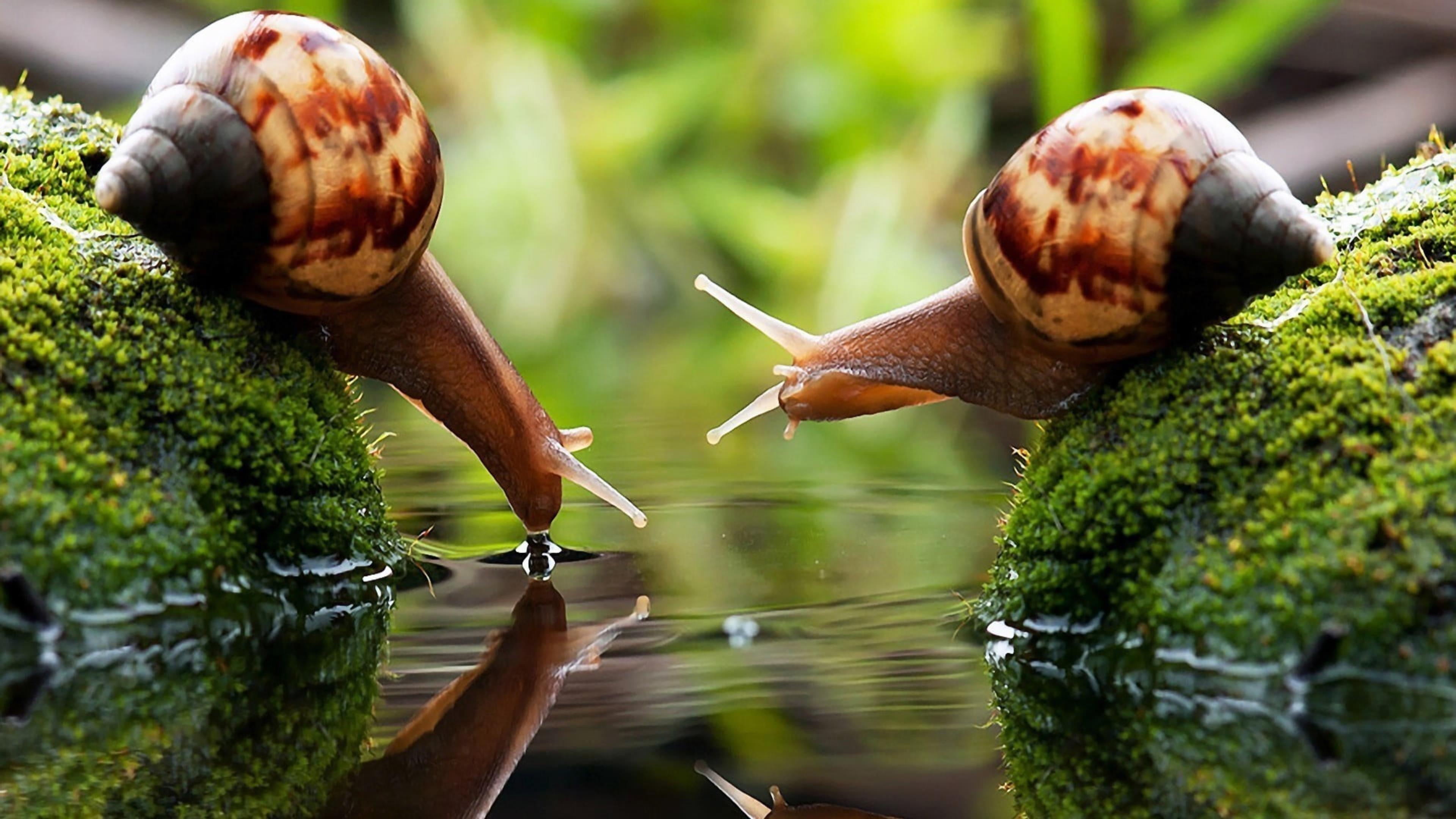 Две коричневые улитки на покрытых водорослями камнях пьют обои скачать