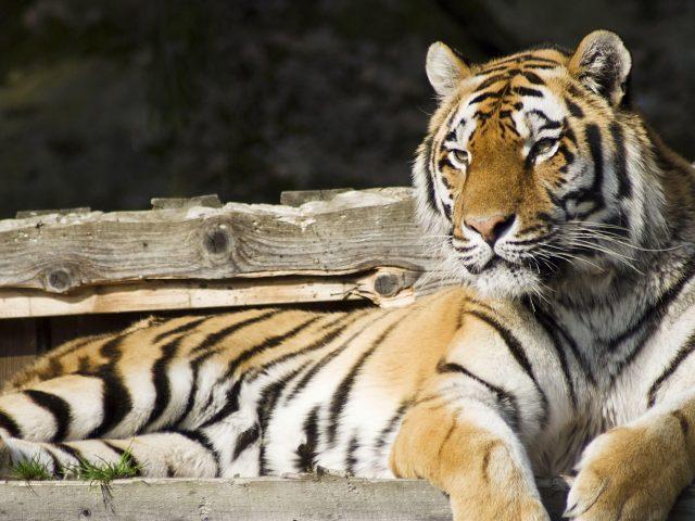 Тигр сидит на деревянной скамейке тигр