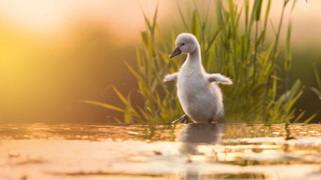 Детеныш животного птица белый цыпленок лебедь стоит у воды в траве фоновые птицы обои скачать