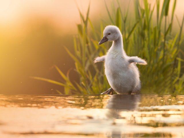 Детеныш животного птица белый цыпленок лебедь стоит у воды в траве фоновые птицы