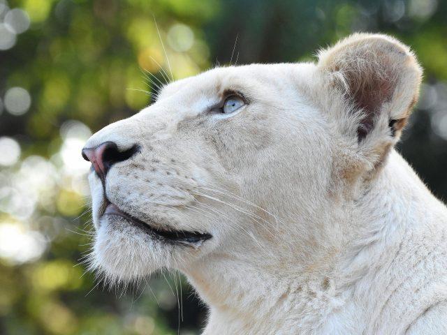 Белая Львиная голова