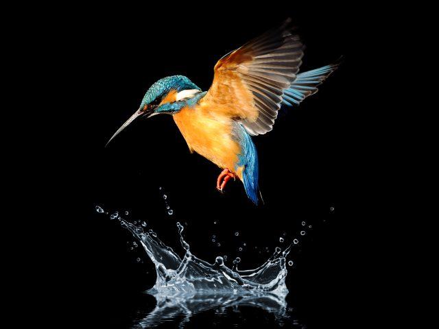 Колибри с синим хвостом