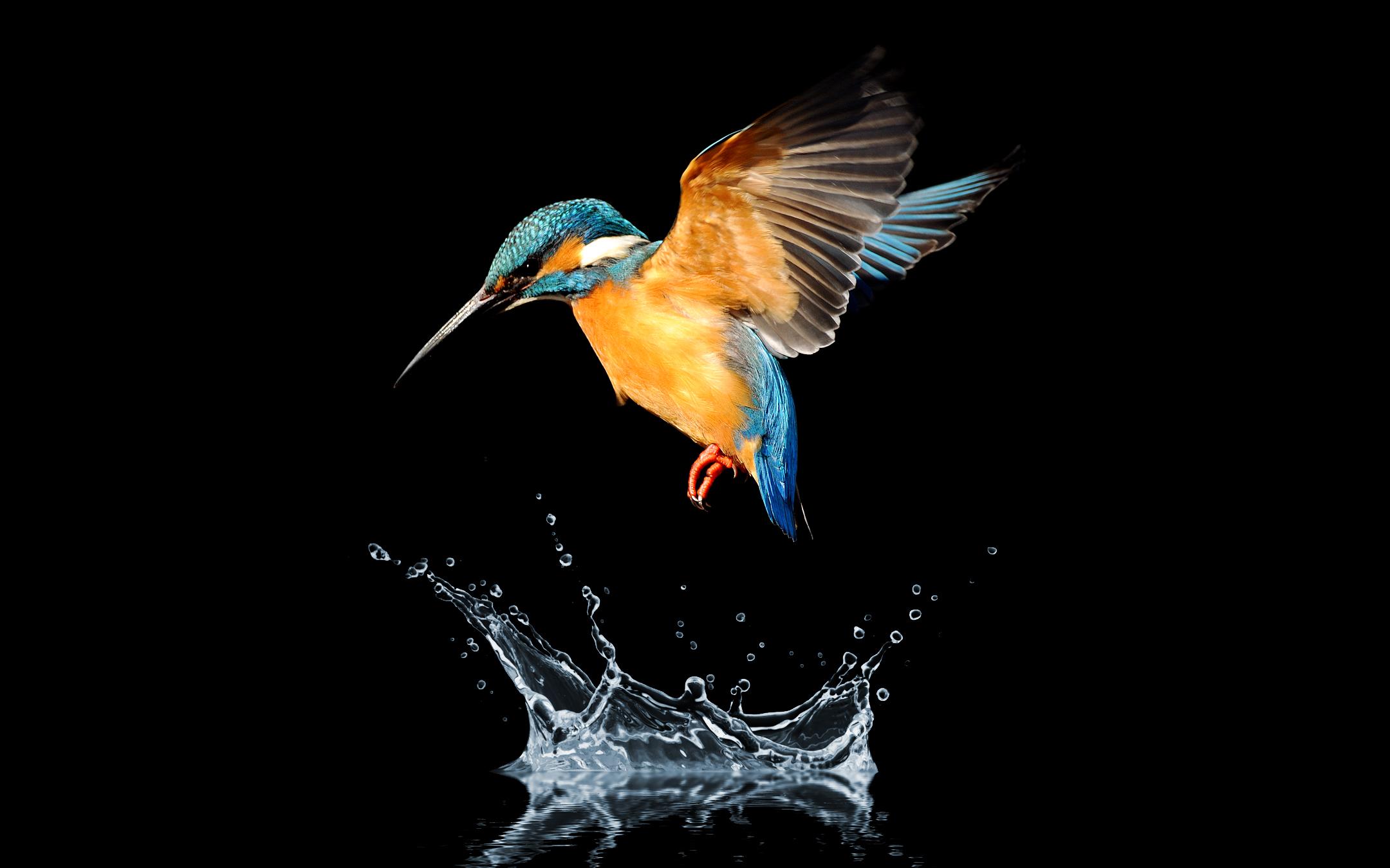 Колибри с синим хвостом обои скачать