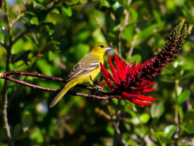 Маленькая зеленая птичка сидит на стволе дерева рядом с красным цветком эритрины животные