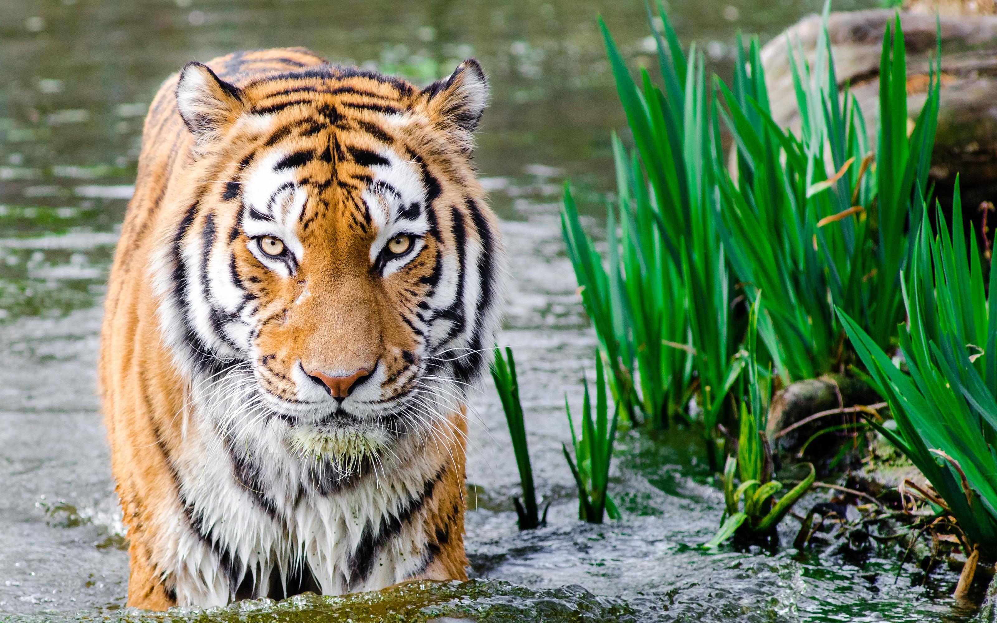 Тигр в воде обои скачать