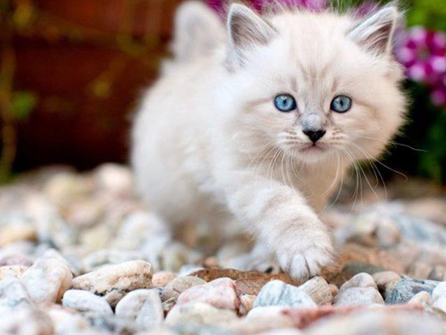 Голубоглазая кошка котенок идет по гальке на фоне голубых розовых цветов котенок