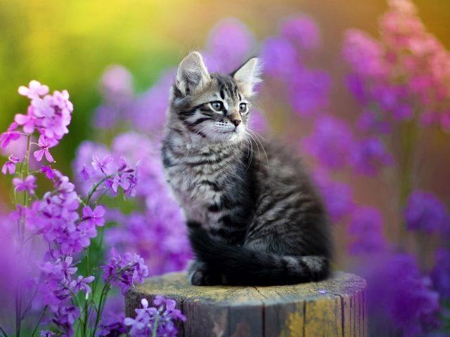 Черный белый кот котенок сидит на стволе дерева в фиолетовых цветах на фоне котенка