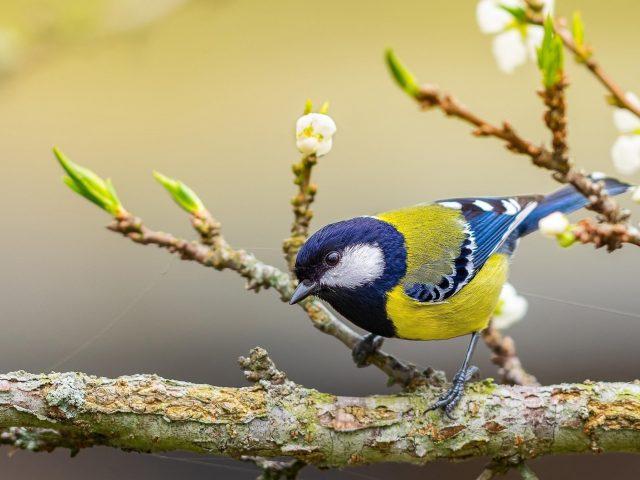 Желто синяя синица стоит на ветке дерева в желтом размытом фоне птицы