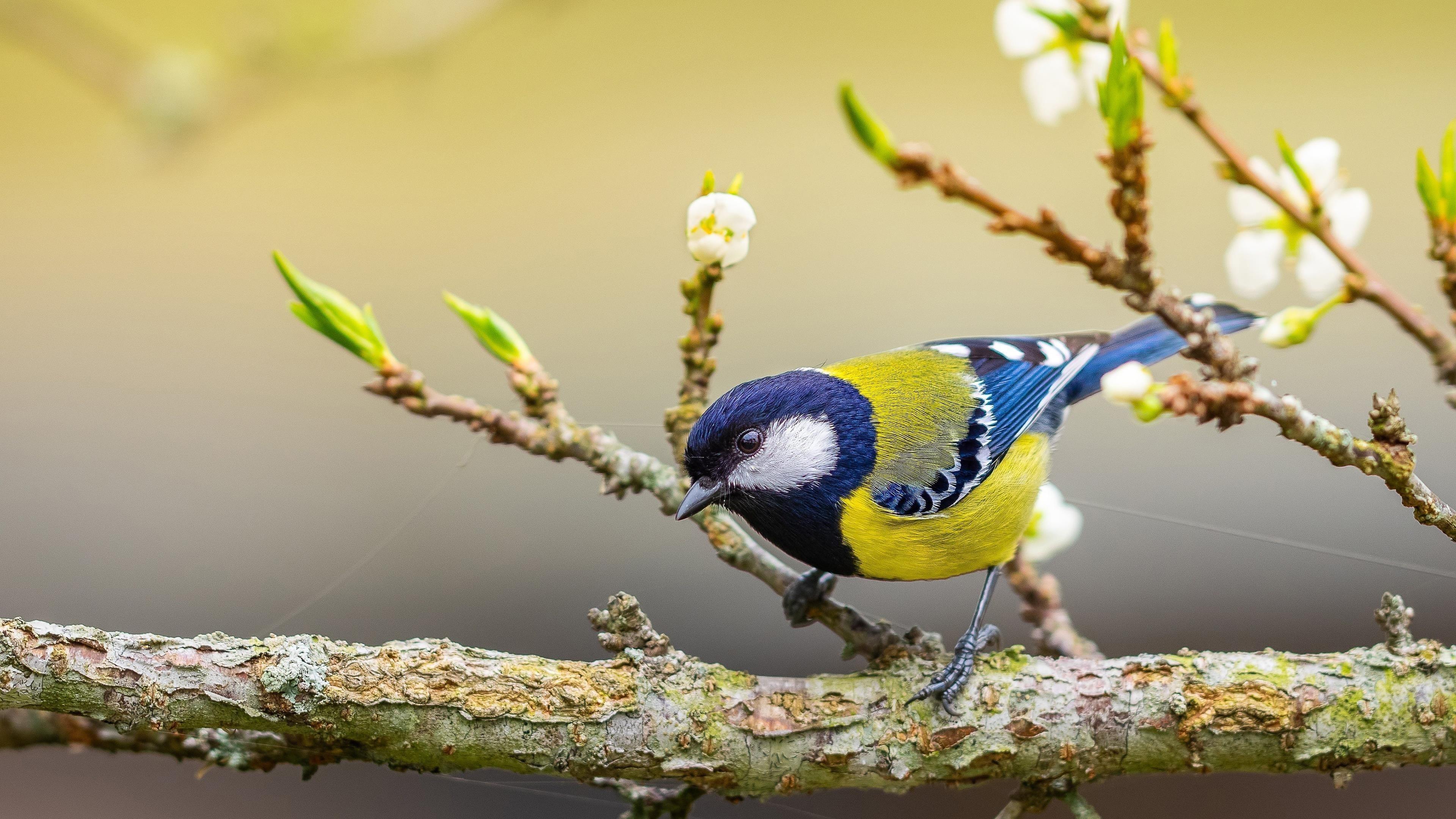 Желто синяя синица стоит на ветке дерева в желтом размытом фоне птицы обои скачать