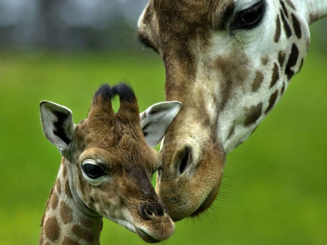 Жираф животные детеныши животных длинная шея
