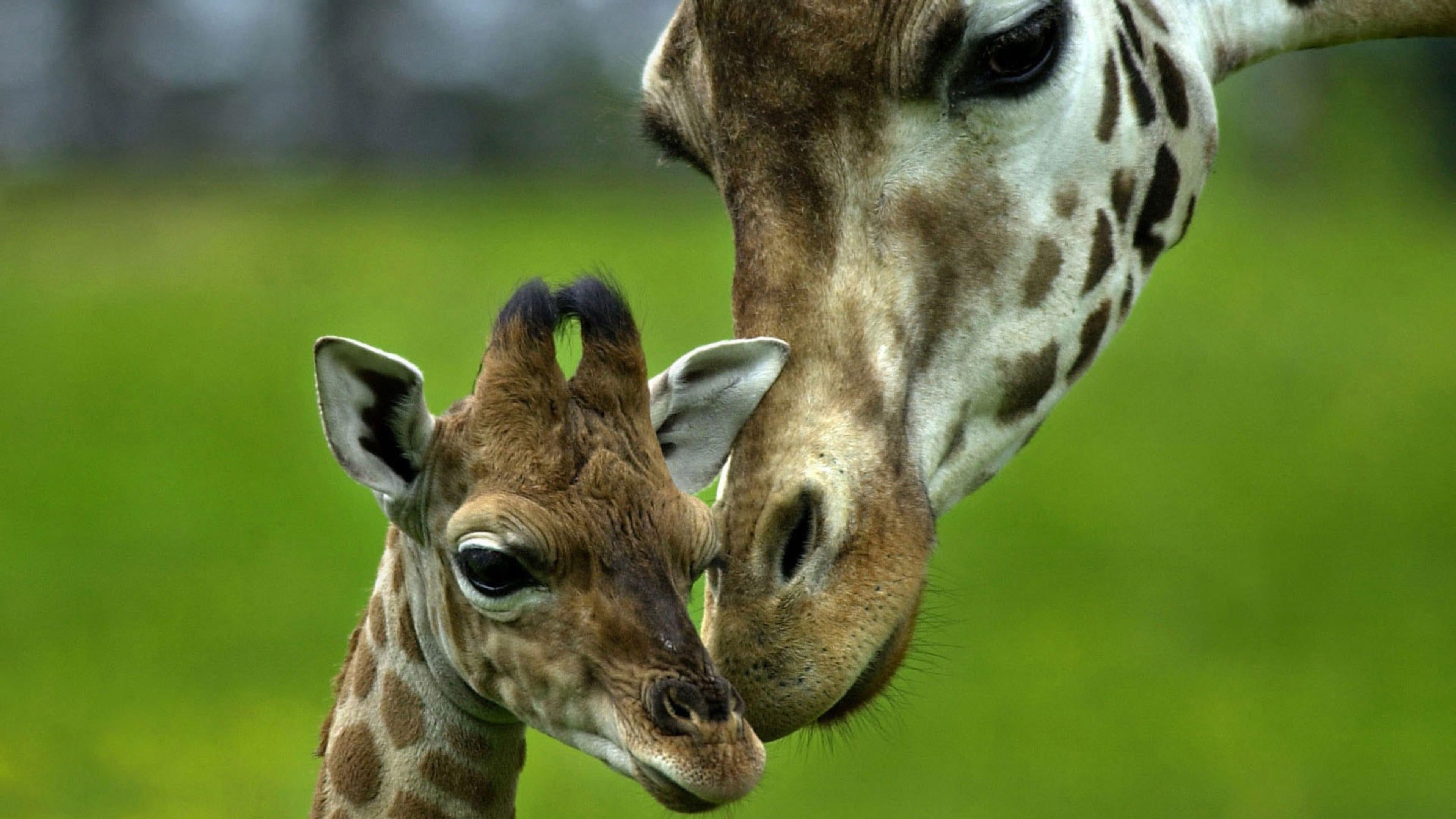 Жираф животные детеныши животных длинная шея обои скачать