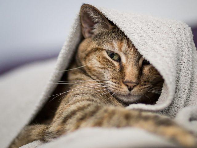 Коричневый черный белый кот внутри белого полотенца кошка