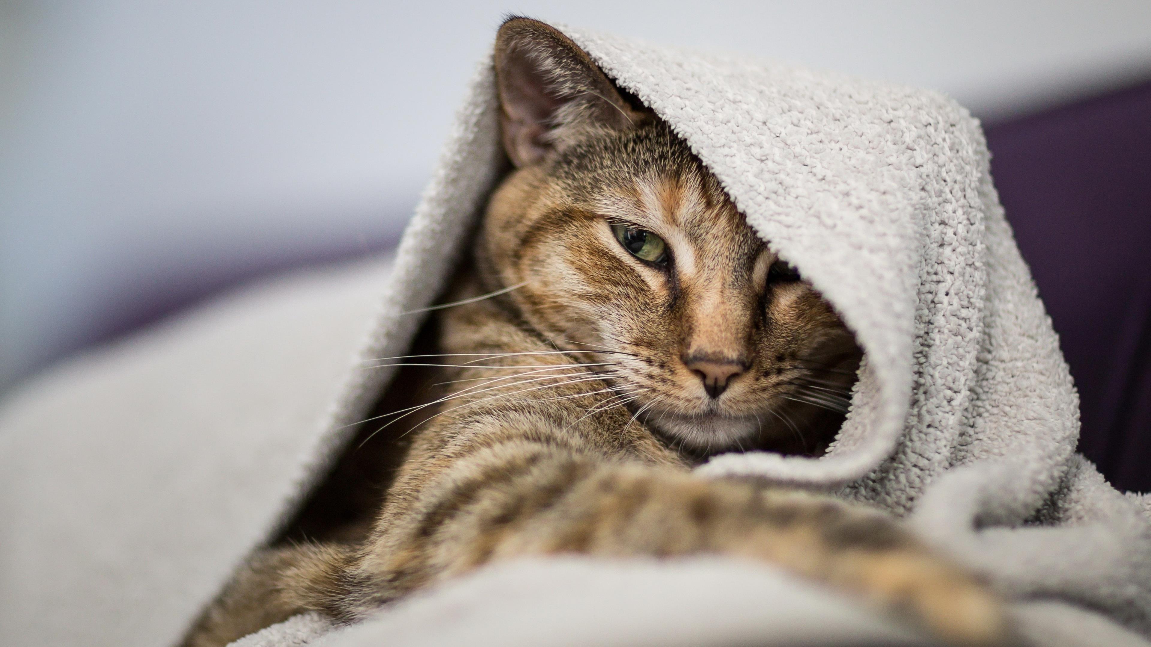 Коричневый черный белый кот внутри белого полотенца кошка обои скачать