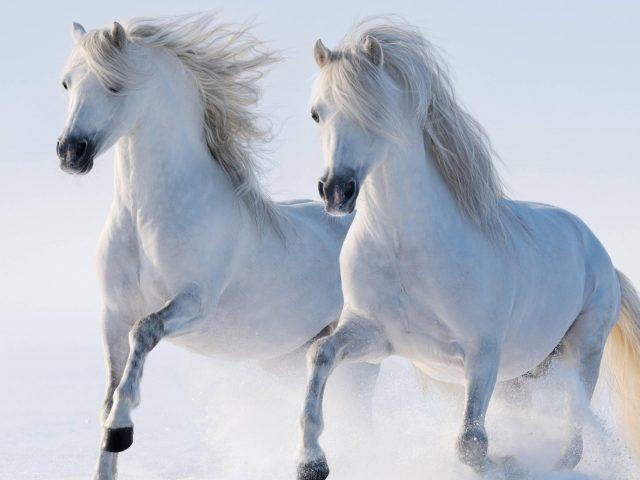 Белая лошадь-близнец