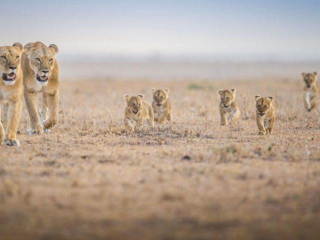 Ходячие львы и детеныши львов лев