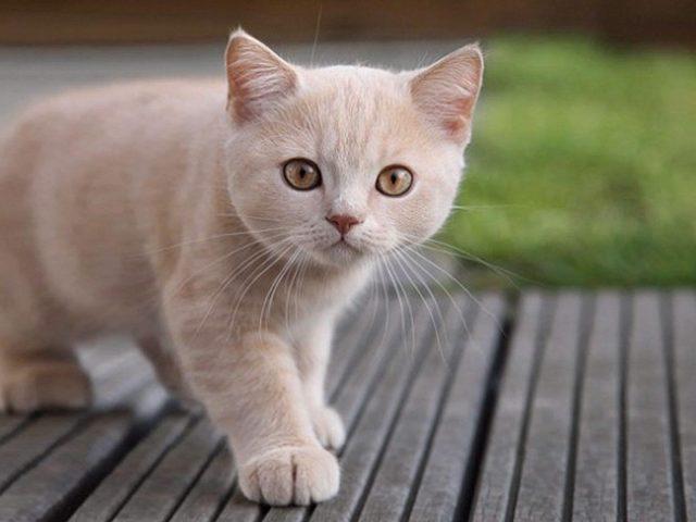 Желтые глаза светло-коричневая белая кошка котенок с пристальным взглядом стоит на тропинке котенок