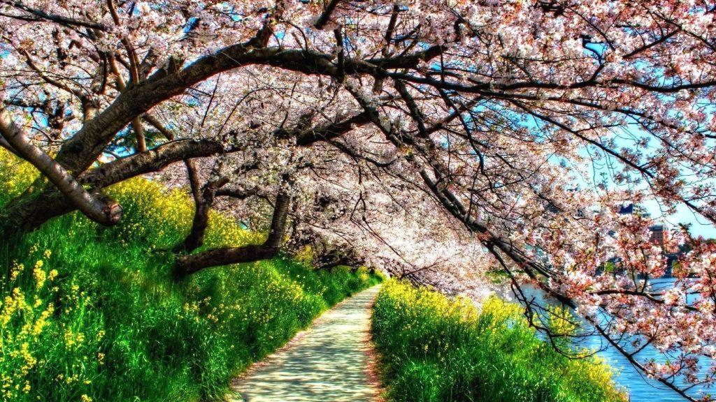 Тропинка между зеленой травой растениями и цветущими розовыми цветами деревьями природой обои скачать