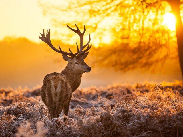 Коричневый олень природа животные деревья закат солнца