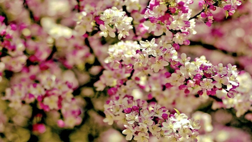 Белый розовый цветок цветы ветви цветы обои скачать
